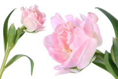 Détail de tulipe de fleur et d'isolement image libre de droits