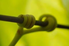 Détail de vignes Photo libre de droits