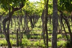 Détail de vignes de Mendoza, Lujan de Cuyo Photographie stock