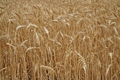 Détail de zone de maïs avant collecte Photos libres de droits