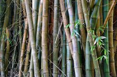 Détail des arbres en bambou Images stock