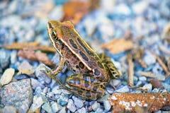 Détail des clamitans du nord de lithobates de grenouille verte dans Southwes image stock