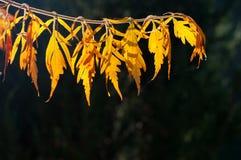 Détail des feuilles d'automne jaunes rétro-éclairées Images stock