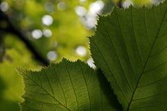 Détail des feuilles dans le contre-jour Image libre de droits