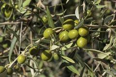 Détail des fruits dans un olivier Photographie stock
