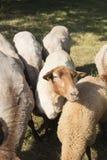 Détail des moutons allemands dehors un jour ensoleillé photo stock