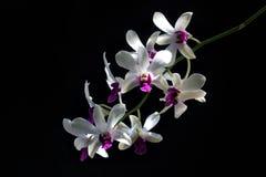 Détail des orchidées pourpres blanches Dendrodium avec le fond et la lumière naturelle noirs sur des pétales de fleur photos stock