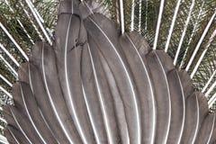 Détail des plumes de paon - fond photographie stock