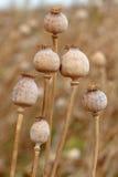 Détail des poppyheads d'arbre sur le champ Images libres de droits