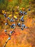 Détail des prunelliers sur un arbre images libres de droits