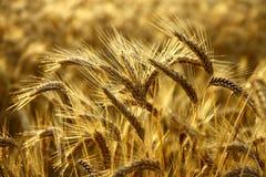 Détail des transitoires de blé avant moisson Photographie stock