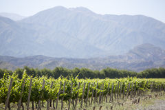 Détail des vignobles en Argentine photographie stock libre de droits
