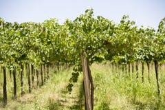 Détail des vignobles en Argentine photographie stock