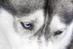 Détail des yeux bleus du chien de traîneau sibérien Image libre de droits