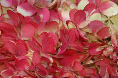 Détail doux d'hortensia rouge et blanc en plan rapproché photographie stock