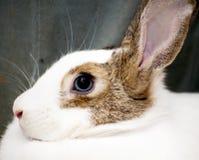 Détail du lapin blanc avec les corrections brunes Photo stock