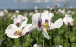 Détail du pavot à opium fleurissant, champ de pavot images stock