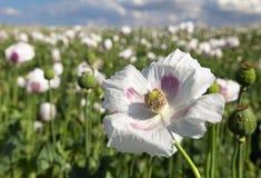 Détail du pavot à opium fleurissant, champ de pavot Photographie stock