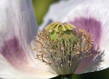 Détail du pavot à opium fleurissant papaver somniferum Images stock