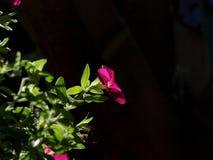 Détail du rouge très gentil CALIBRACHOE photos libres de droits