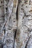 Détail du tronc d'un macrophylla de ficus photos stock