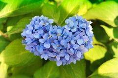 Détail en forme de coeur d'hortensia Images stock