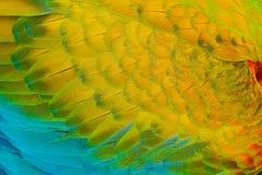 Détail en gros plan de plumage de perroquet Ara d'écarlate, arums Macao, détail d'aile, nature Costa Rica Photos libres de droits