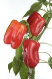 Détail frais de poivrons Photographie stock