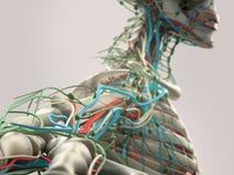 Détail humain d'anatomie d'épaule, de bras et de cou Structure d'os sur le fond simple de studio Photographie stock libre de droits