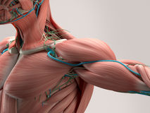 Détail humain d'anatomie d'épaule Muscle, artères sur le fond simple de studio Image stock