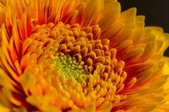 Détail jaune de fleur de gerbera Photo stock