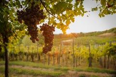 Détail mûr de champ de vignoble de raisin d'été de coucher du soleil Photo stock
