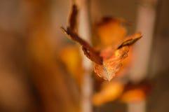Détail orange de feuille avec le fond brun Photographie stock libre de droits