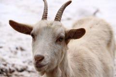 Détail principal de chèvre Image libre de droits