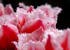 Détail rose et blanc de tulipes images libres de droits