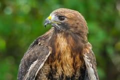 détail Rouge-coupé la queue de faucon Photo libre de droits