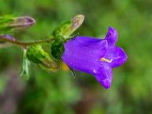 Détail sauvage de fleur de campanule avec la fourmi Aka campanule Photos libres de droits