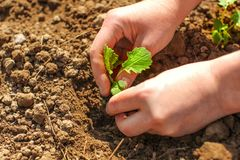 Détail sur des mains de jeune femme, plantant la petite usine de jeune plante verte photo stock