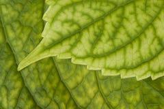 Détail vert de lame Photographie stock