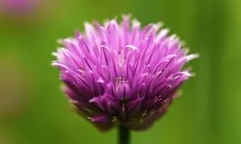 Détail violet de fleur de ciboulette au printemps Images stock