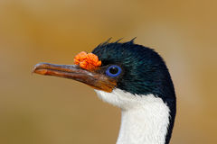 Détaillez le portrait de la tapis à longs poils impériale, les atriceps de Phalacrocorax, cormoran noir et blanc avec l'eyea bleu Photo libre de droits