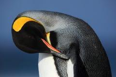 Détaillez le portrait du plumage de nettoyage de pingouin de roi dans Antartica image libre de droits