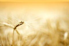 Détails d'oreille de blé photographie stock libre de droits