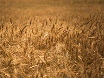 Détails de champ de blé Photos libres de droits