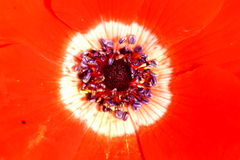 Détails de fleur (anémone) Image libre de droits