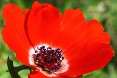 Détails de fleur (anémone) Image stock