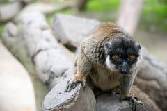Détails de lémur Image libre de droits