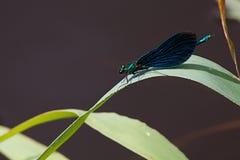 Détails de macro d'insec de nature de Dragounfly Photographie stock