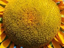 Détails jaunes de tournesol Photographie stock