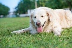 Détendez le retriver d'or Labrador photo libre de droits
